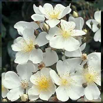 The creamy-white, fragrant flowers with golden stamens are borne in huge, cascading trusses in spring, followed by thousands of small red hips in autumn. Plentiful glossy foliage that changes to rich russet. Shade tolerant, ideal for climbing into trees. 9m x6m.