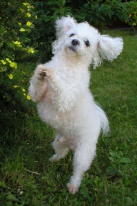 Muki in action :) - Bichon Bolognese / Boloňský psík