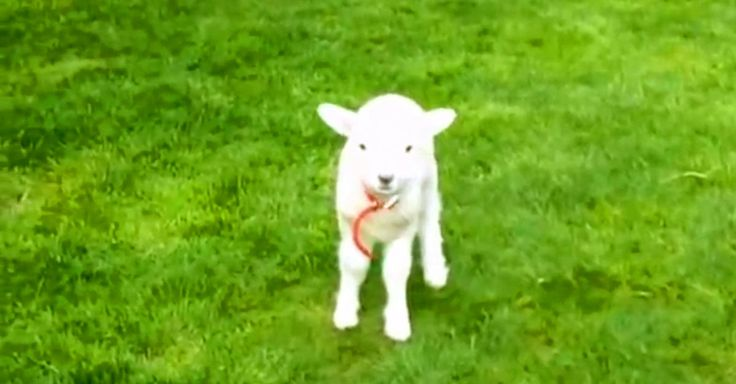 A Playful Little Lamb Just Stole My Heart! | The Animal Rescue Site Blog