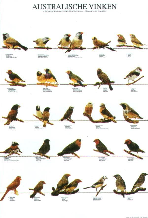 ladygouldianfinch.com - Bird Posters