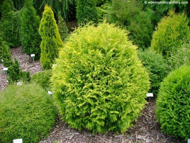 43 best images about dwarf evergreens for containers as a topiary on pinterest gardens. Black Bedroom Furniture Sets. Home Design Ideas