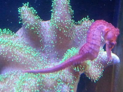 Well, not a jelly but, nonetheless, quite cosmic!! Rare red Hippocampus reidi seahorse