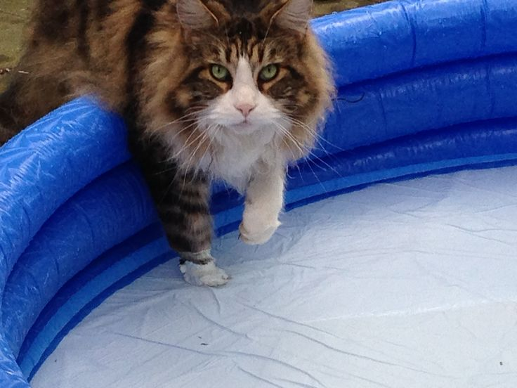 Maine Coon, black tabby blotched & white (n 09 22). Sandy Beaches Heavey Duty in his own swimming pool ;)