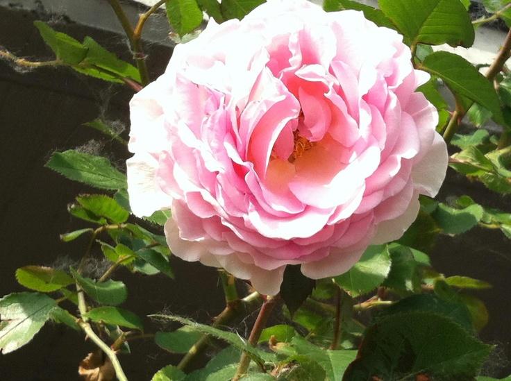 Un arbusto di superba bellezza con lunghi rami leggermente arcuati e quasi inermi, che destina la pianta al gruppo Leander. Robusta, esente da malattie, eccellente per l'ultima fila di una bordura mista.     Le corolle sono grandi e piene, con molti petali ordinatamente disposti, rosa caldo al centro che impallidisce a rosa pallido agli orli; la fragranza, deliziosa, di Rosa Antica.     Il nome per il 60esimo compleanno di James Galway, flautista di fama mondiale.