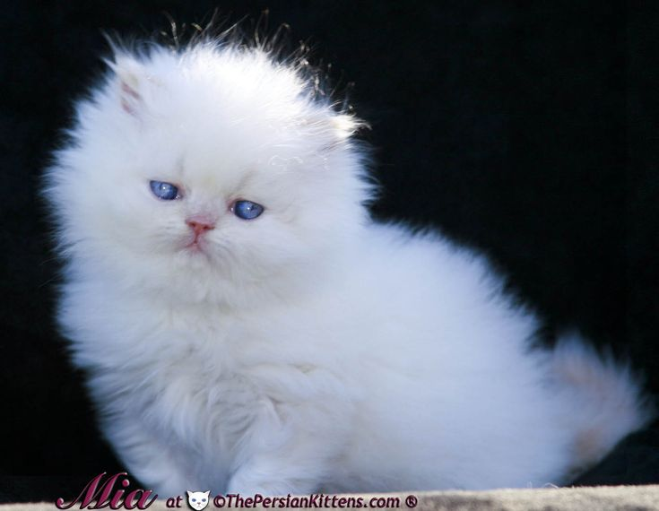 Persian - Most Affectionate Cat Breeds