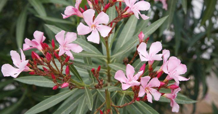 Oleander ist der Favorit unter den Kübelpflanzen. Man liebt ihn wegen seiner mediterranen Blütenpracht und schätzt seine Robustheit. Trotzdem wird der Blütenstrauch gelegentlich von Krankheiten oder Schädlingen befallen.