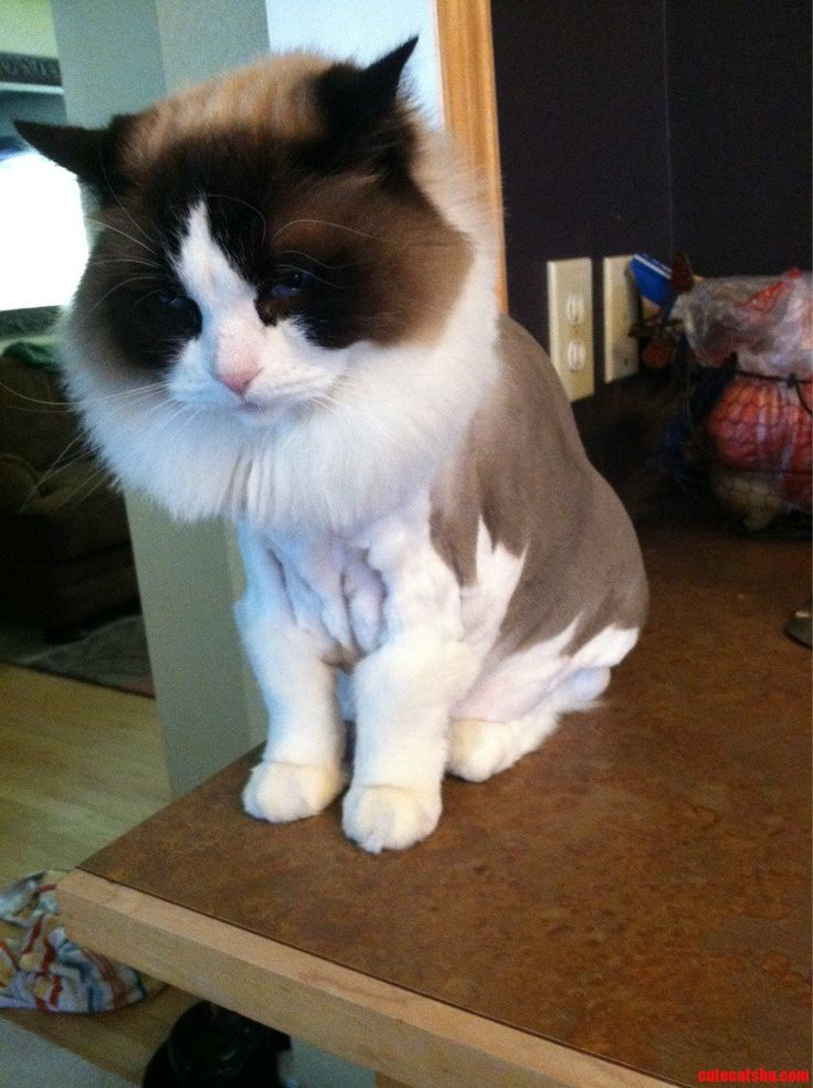 My Friend Shaved His Cat Catzilla Like A Lion. - http://cutecatshq.com/cats/my-friend-shaved-his-cat-catzilla-like-a-lion/
