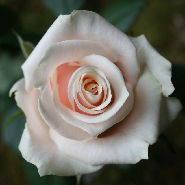 Talea Rose - blush