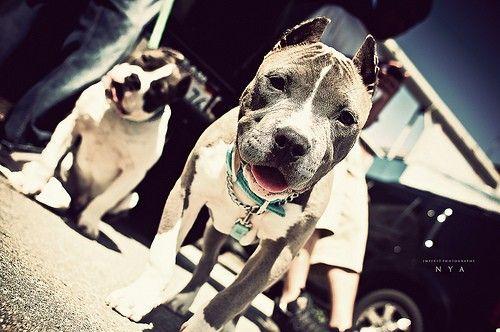 Pitbull Pups: Animals, Dogs, Pitbulls Staffordshire S, Pitbulls 3, Pitbull Puppy, Peacelove Pitbulls, Bully Breed, Amazing Pitbulls