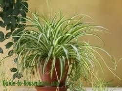 spider plant, spider plant care