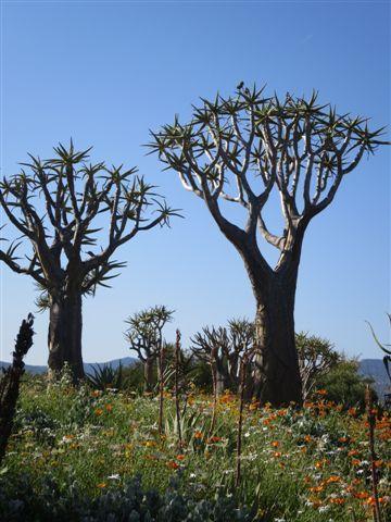Quiver Tree or Kokerboom. Nieuwoudtville