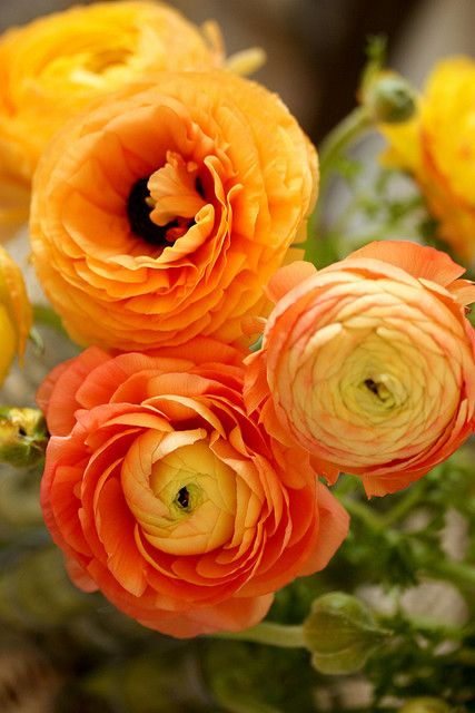 Orange ranuculus. The color is sunny and beautiful. ranunculus