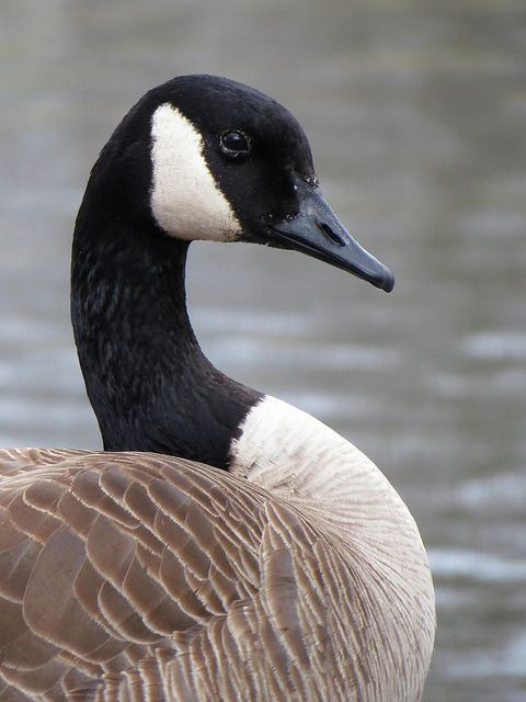 Canada Goose Symbol of seasonal change, cooperation, leadership and protection. Even though it is a water element association, the goose is the symbol of the masculine in this element.