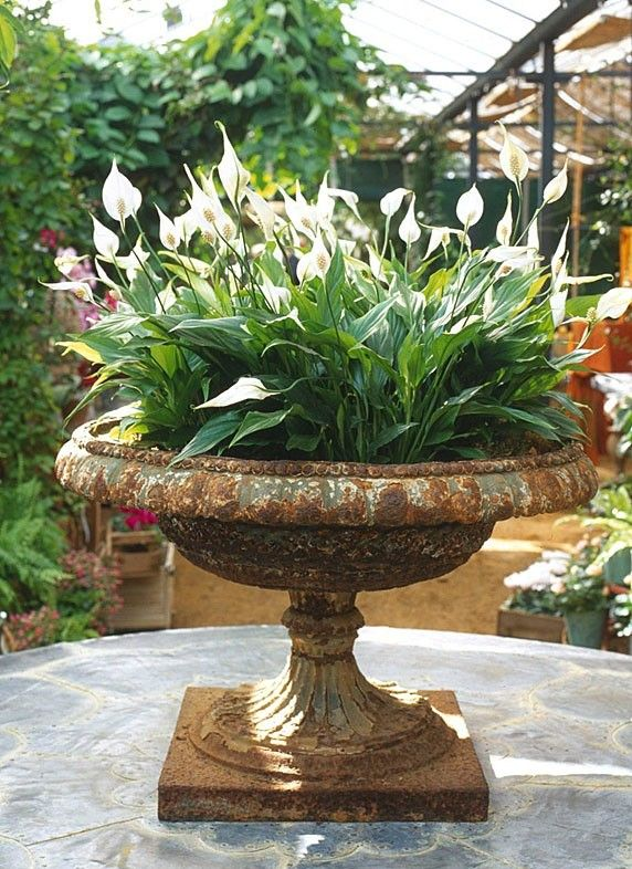 Urn w/ Spathiphyllum - Peace Plant. Elegant cast iron urn on pedestal. Container garden.