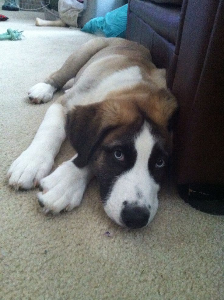 Mowgli-St Bernard husky mix | kids | Dogs, Lab mix puppies ...