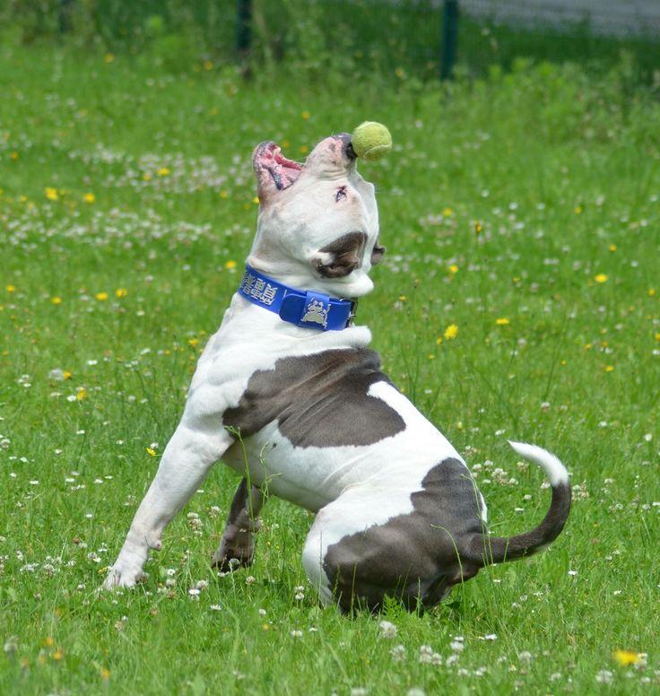 Chiot puppy puppies american bully xl xxl bully pitbull