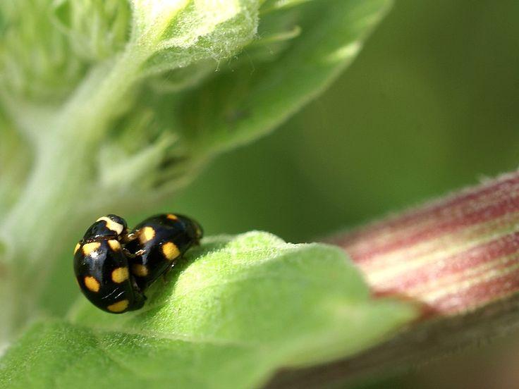 #Coléoptère du #Québec - #Brachiacantha ursina - #Coccinelle noire à taches jaune orange à orange vermillon - Orange-spotted #Lady #Beetle