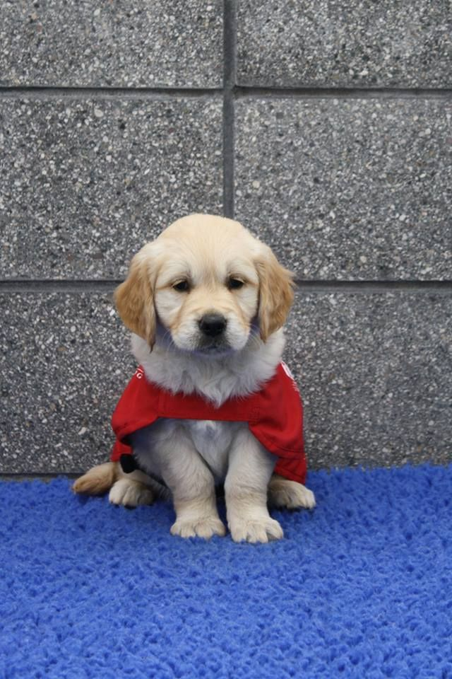 Tori, one of our newest guide dog puppies all present and correct in her red coat! Mum Amber and Dad Phil, are both golden retrievers.