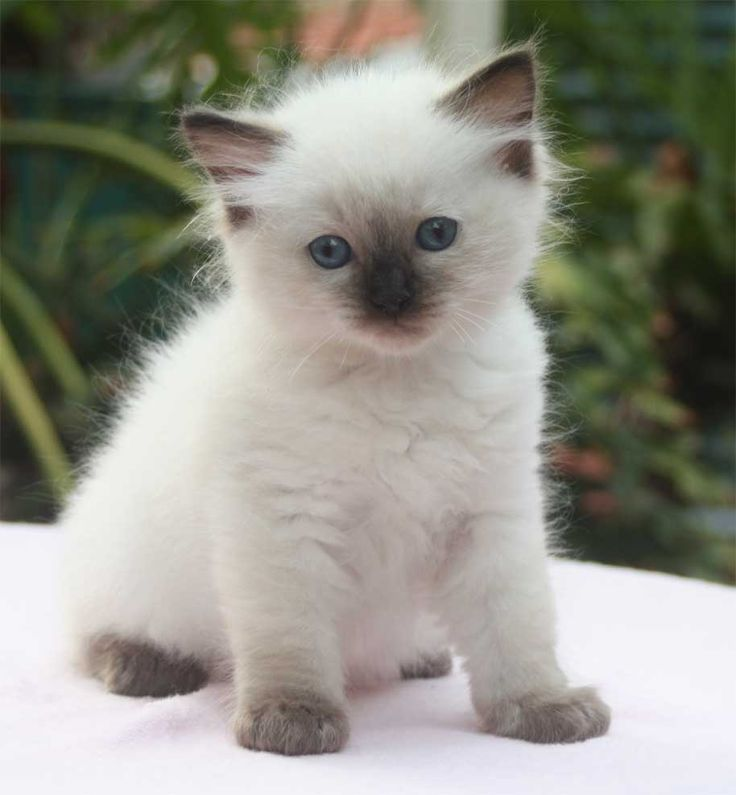 Unbelievably cute. Ragdoll Kitten. We now have one of our
