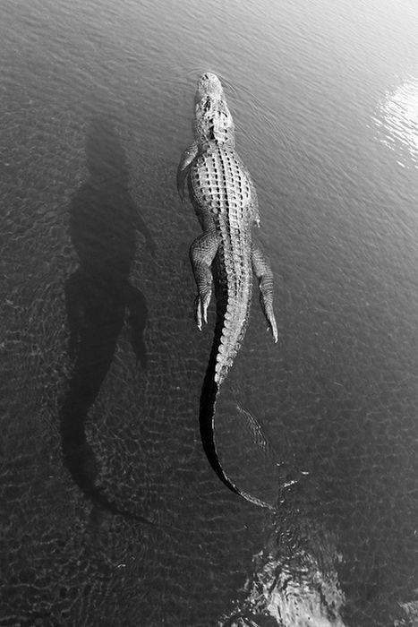 Qui ose me faire de l'ombre... ? / Crocodile.