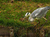 Aan de rubriek vogels op de site hs-natuurfotografie zijn een paar foto's toegevoegd van de Blauwe Reiger