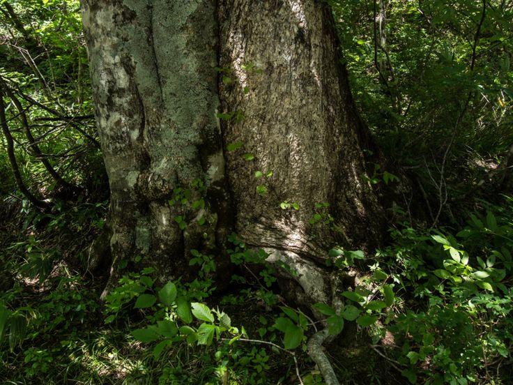 北ノ俣沢を歩く-その3 ブナとミズナラの夫婦樹 - 生きもの千夜一話