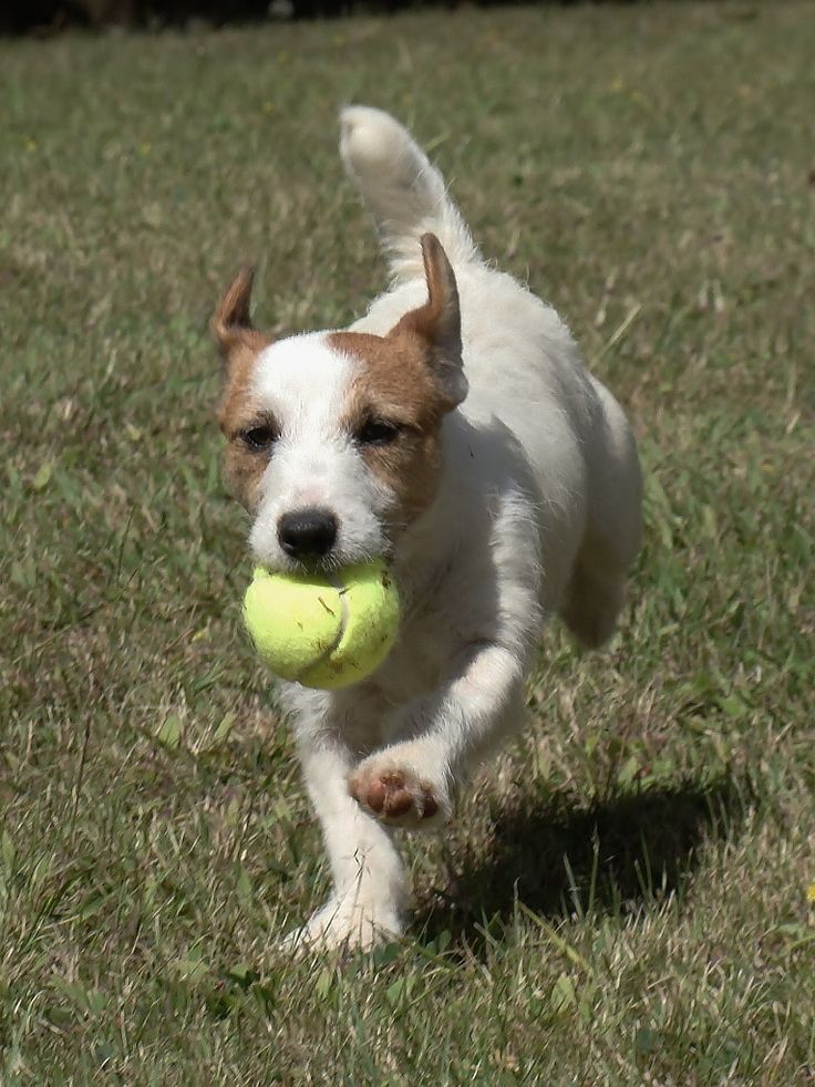 Canil Hunter Dream - Jack Russell Terrier Jackland Alice