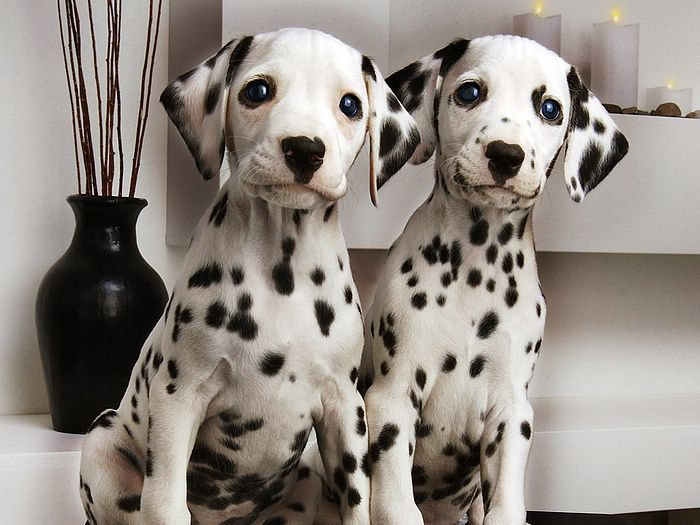 Top Cuby Chubby Adorable Dog - 8850f0625b474d76460d6185d7310fb2--dalmatian-dogs-dalmatian-facts  Best Photo Reference_85463  .jpg