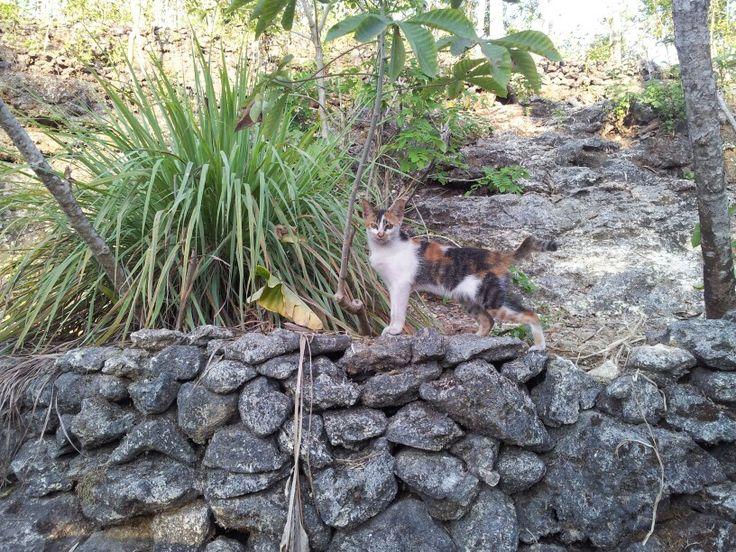 Cutie indonesian cat