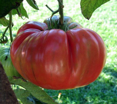 Brandywine Tomato 4 Plants Great Tomato Taste 400 x 300
