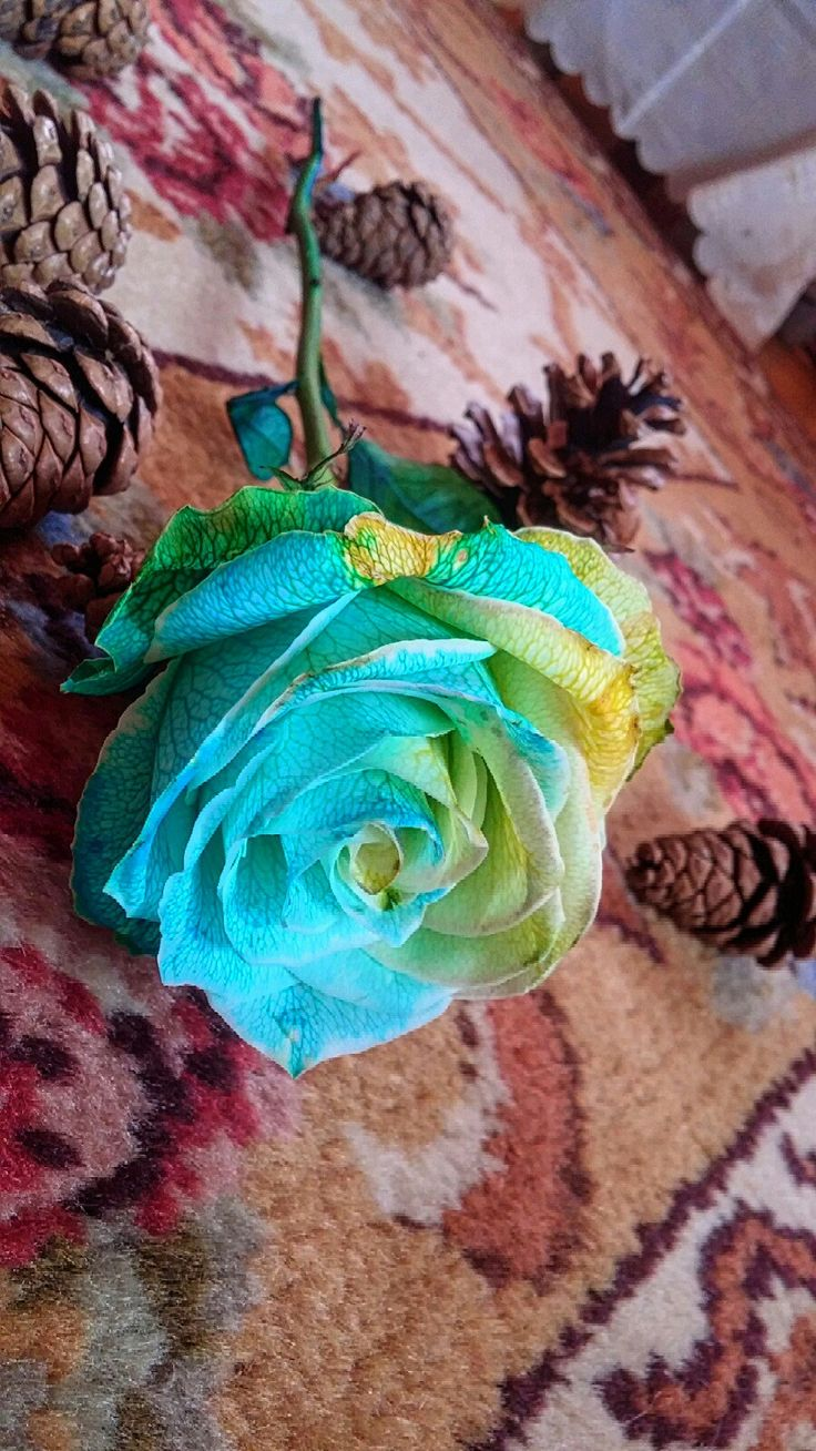 Colorful rose. Just took a white rose,cut the stem in 3 and dipped it into Easter egg dye. It took a week to soak up the colors but worth it. Practice makes perfect, I will try it again.