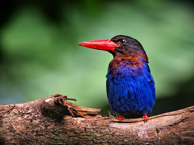 Javan Kingfisher (Halcyon cyanoventris) - Its natural habitat is subtropical or tropical mangrove forests of Indonesia.