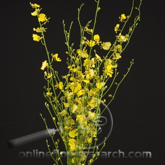 Oncidium Orchid Lots Of Small Yellow Flowers Along The Stem