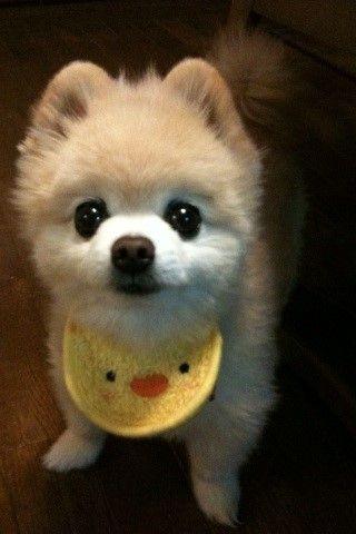 可愛いTwitter犬「俊介」--人民網日本語版--人民日報 : [じゃらんCMで話題沸騰]かわいすぎるポメラニアン、俊介くんの動画・画像まとめ - NAVER…