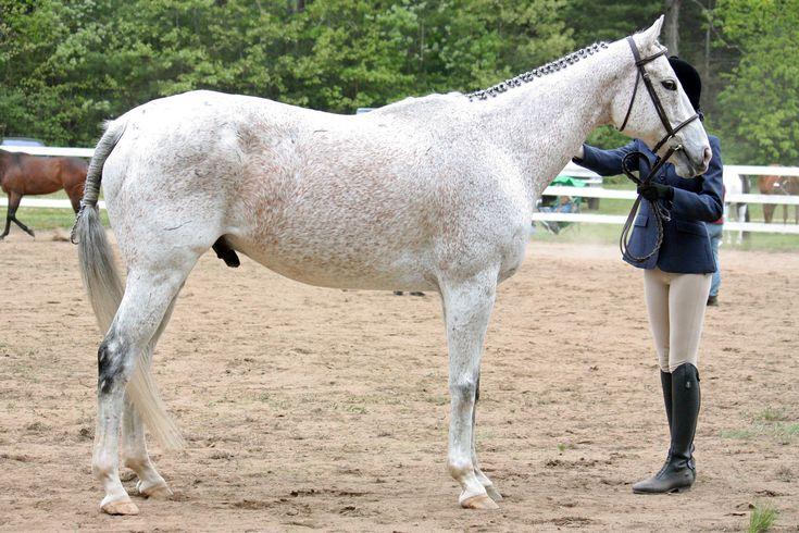 Hevosen esittelyä näytöksessä