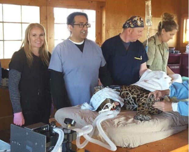 Arthritic Alberta jaguar treated with cutting-edge human procedure (CBC News 25 April 2017)