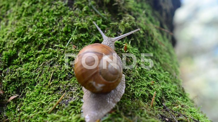 Snail in the wood.  #nature #animal #antenna #brown #closeup #cockleshell #couple #crawling #forest #formless #gourmet #gray #green #house #laziness #lush #macro #mollusk #moss #shell #skin #slimy #slippery #slow #slug #snail #snail shell #spiral #stone #tentacle #tranquil #wet #wild animals #wood #spring #summer