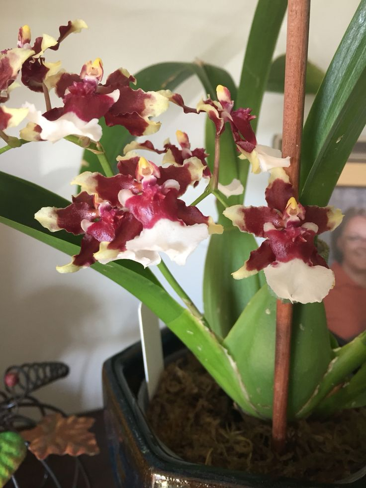 Orchid  Oncidium Heaven Scent Redolence 34 best House Plants my orchid collection images on Pinterest