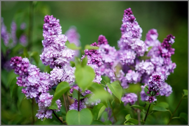 Happy Mother's Day! Lilac Sugar   Caramelize Life ~Photo credit: http://www.weymullerphotography.com ~Blog credit: http://www.caramelizelife.com