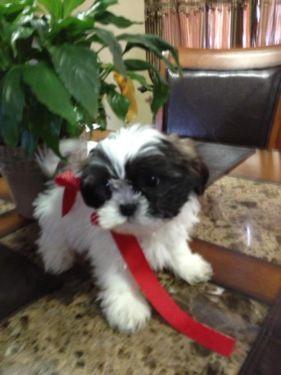 How to Teach a Puppy Basic Tricks - Shih-Tzu Puppies