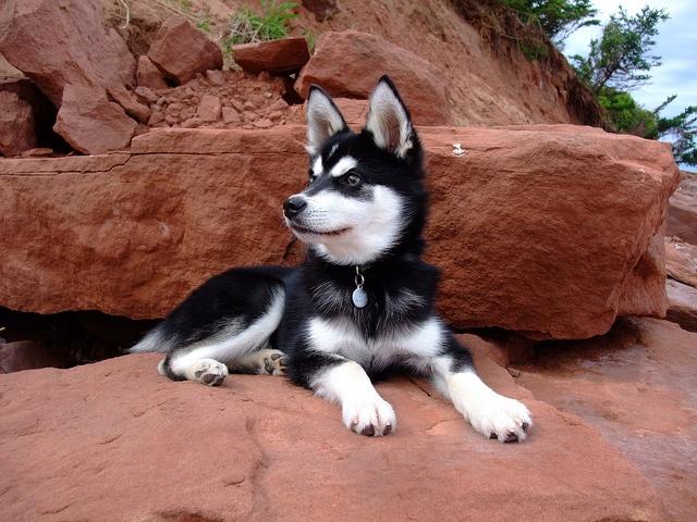 Alaskan Klee Kai, aka, the mini Husky... pretty much the coolest dog ever.