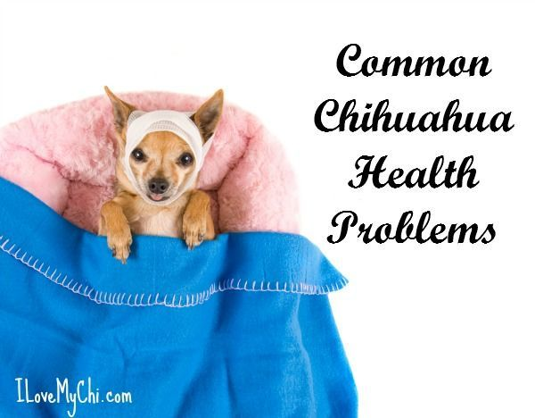 Chihuahua Health Problems To Be Aware Of Chihuahua Breeds
