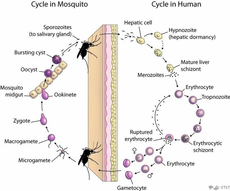 Malaria's life cycle