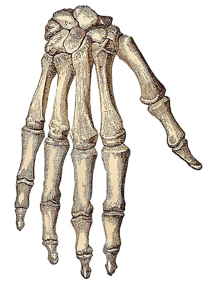 Vintage Halloween Clip Art | ... -: Free Vintage Clip Art - Skeleton Parts for Halloween Crafting