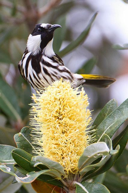 New Holland Honeyeater. Found throughout southern Australia.  Flickr - Photo Sharing!
