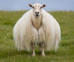 On of the world's oldest and purest breeds of sheep. Throughout its 1100 years of history, the Icelandic breed has been truly triple-purpose, treasured for it's meat, fiber and milk. - Photo courtesy of Pete Chipman