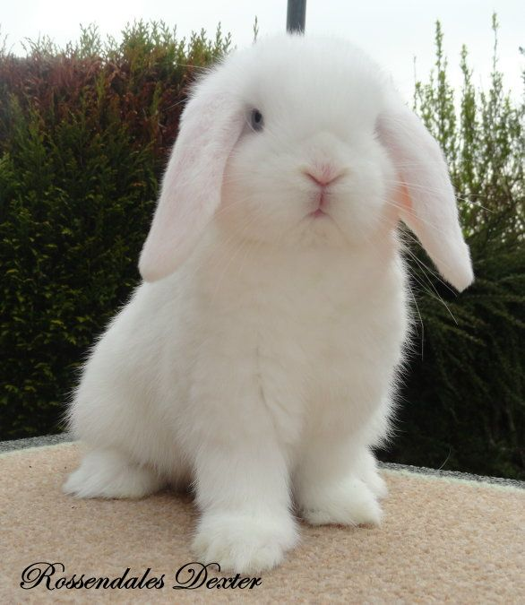 mini lop - this one is so cute...almost looks like a little white lamb.