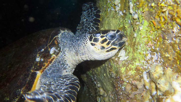 Share a cave with a big, gregarious turtle - she doesn't mind! #scuba #diving #underwater #travel #diveplanit