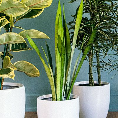 Tall House Plants 14 best indoor plants images on pinterest | indoor plants, flower