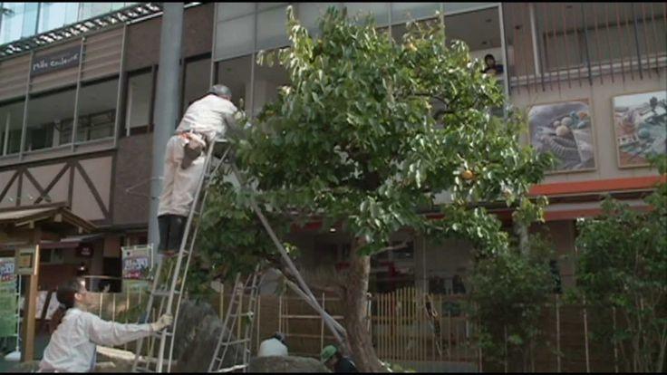 2011 第二回「匠の技」作品展11 造園「枯山水」柿の木剪定